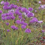 Pflanzen für Mülltonnenbox - Schnittlauch
