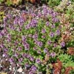 Pflanzen für Mülltonnenbox - Thymian