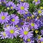 Mülltonnenbox Pflanzen - blaues Gänseblümchen
