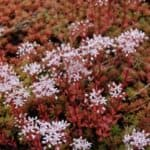 Pflanzen für Mülltonnenbox - weißer Mauerpfeffer